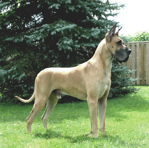 Hardy KMA Great Danes & CH Custom Design Cool Coats - GCH